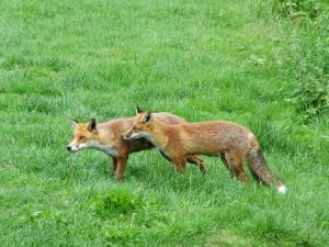 Postal: Dos zorros rojos quietos sobre la hierba