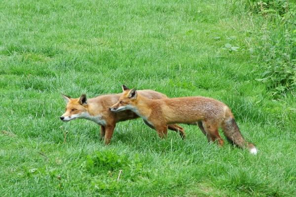 Dos zorros rojos quietos sobre la hierba