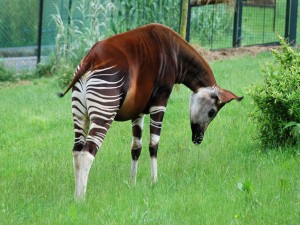 Un okapi (Okapia johnstoni)