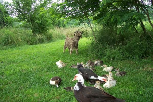 Oveja visitando a una familia de patos