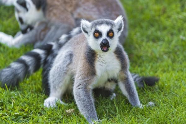 Lémur con hierba en la boca