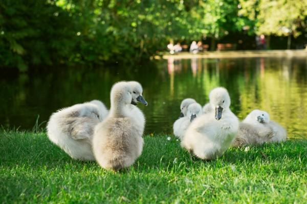 Jóvenes patos sobre la hierba
