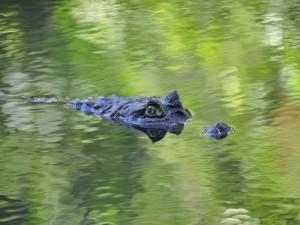Los ojos de un caimán en la superficie del agua