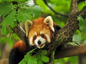 Postal: Un simpático panda rojo