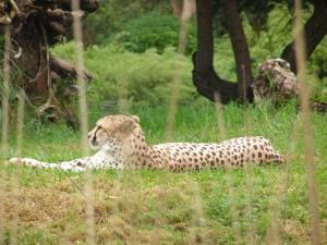 Postal: Un guepardo en reposo