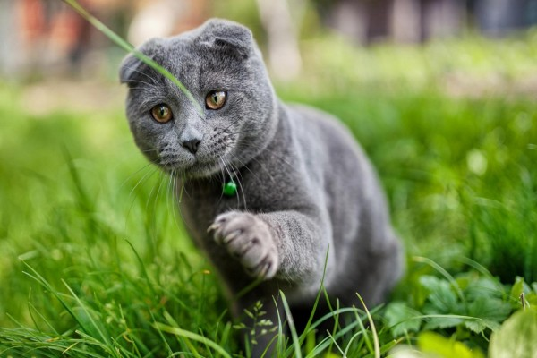 Gato con un cascabel verde