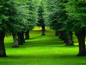 Postal: Frondosos árboles sobre un manto verde