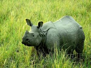 Un gran rinoceronte