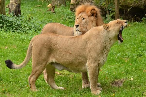 Leona bostezando junto a un león
