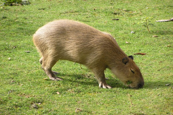 Carpincho comiendo hierba