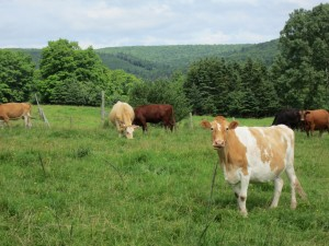 Postal: Vacas de varios colores en el pasto