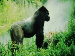 Un gran gorila en su hábitat