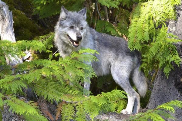 Un lobo en el bosque