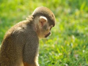 Perfil de un pequeño mono