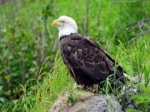 Águila calva posada