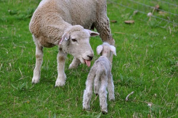 Oveja cuidando de su corderito recién nacido