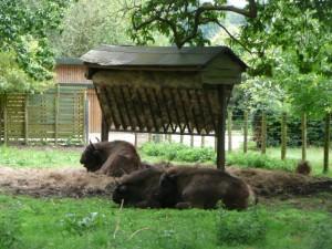 Bisontes en un parque para animales