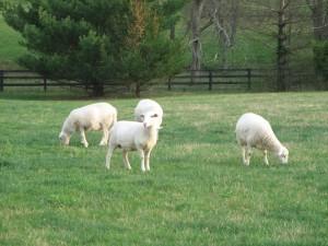 Ovejas en un pasto verde