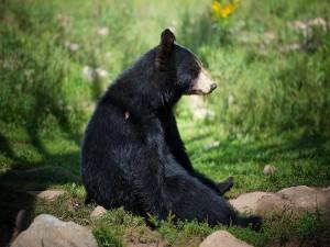 Postal: Un oso negro sentado