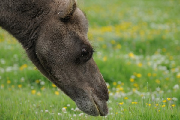 Cabeza de un camello