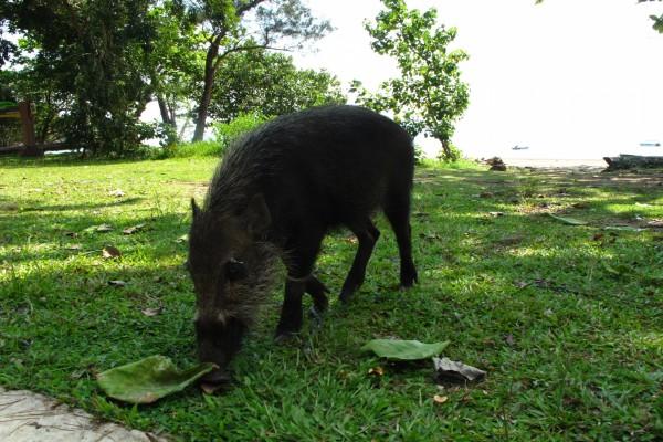 Jabalí comiendo en la hierba