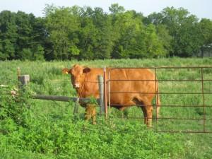 Hermosa vaca marrón tras la valla