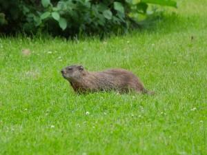 Postal: Un castor en la hierba