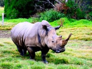 Rinoceronte con un gran cuerno
