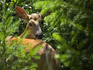 Postal: Hembra de ciervo entre los árboles