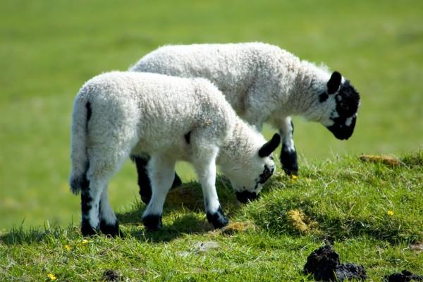 Dos pequeñas ovejas blancas con manchas negras