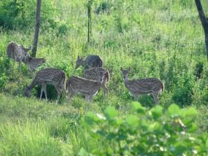 Postal: Un grupo de hembras de ciervo