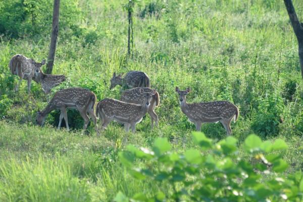 Un grupo de hembras de ciervo