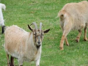 Una cabra en la hierba