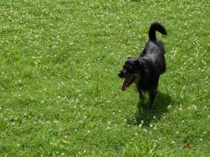 Postal: Perro paseando por un verde campo