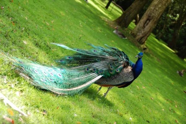 Bonito plumaje de un pavo real