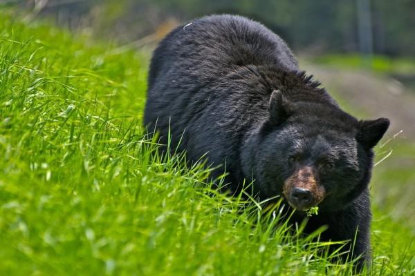 Gran oso negro caminando sobre la verde hierba
