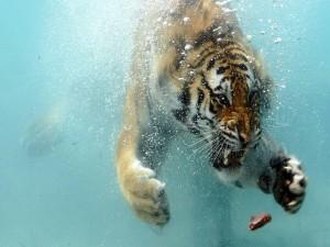 Tigre en el agua para atrapar un pedazo de carne
