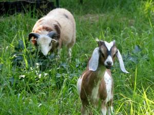 Cabra con grandes orejas