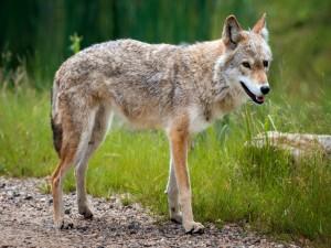 Postal: Un lobo solitario