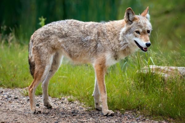 Un lobo solitario