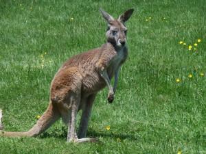 Un canguro sobre la hierba