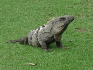 Un gran reptil