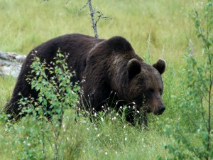 Postal: Un gran oso caminando entre las plantas