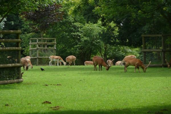 Un grupo de ciervos comiendo hierba