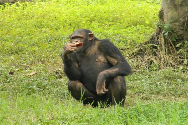 Un chimpancé adulto comiendo