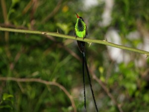 Colibrí Portacintas Piquirrojo (Trochilus polytmus)