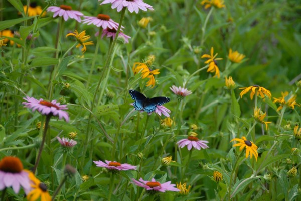 Mariposa en un campo de flores