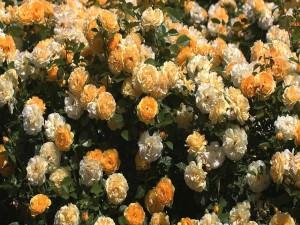 Un espectacular rosal amarillo