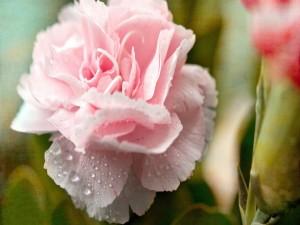 Clavel rosa con gotitas de rocío