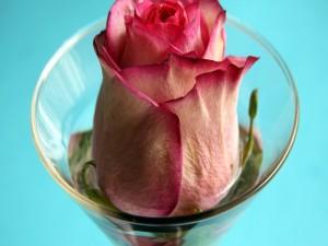 Rosa de color rosa en una copa de cristal